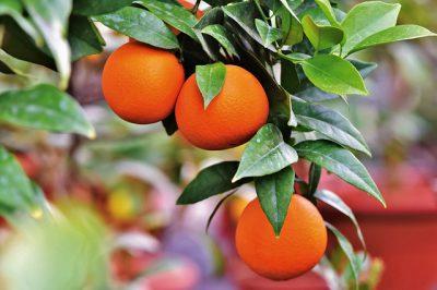 AUTORIZAÇÃO EXCECIONAL DE EMERGÊNCIA: Psila africana dos citrinos